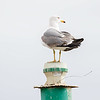 Gulbeinmåke / Yellow-legged Gull<br /> La Palma, Spania 29.12.2017<br /> Canon 7D Mark II + Tamron 150 - 600 mm 5,0 - 6,3 G2