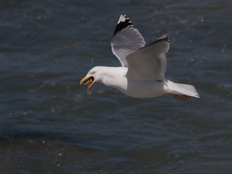 Gråmåke / Herring Gull<br /> Hanstholm, Danmark 22.5.2015<br /> Canon 7D Mark II + Tamron 150 - 600 mm 5,0 - 6,3