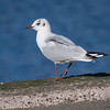 Hettemåke / Black-headed Gull<br /> Nyköbing, Mors Danmark 18.3.2008<br /> Canon EOS 20D + EF 400 mm 5.6 L