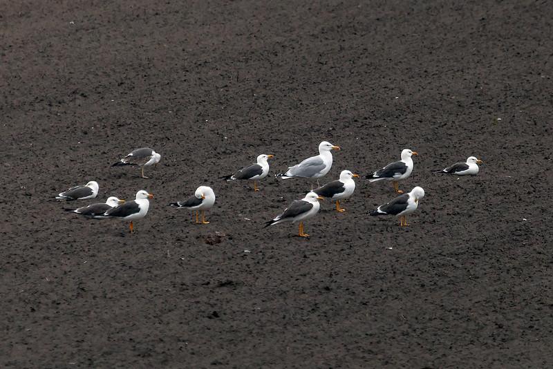 Sildemåke / Lesser Black-backed Gull<br /> Kviljo, Lista; Vest-Agder 10.5.2013<br /> Canon EOS 5D Mark II + EF 100-400 mm 4,5-5,6 L