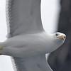 Gulbeinmåke / Yellow-legged Gull<br /> Tenerife, Spania 26.2.2005<br /> Canon EOS 20D + EF 200 mm 2,8 + Extender 1,4 x