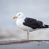 Svartbak / Great Black-backed Gull<br /> Lundevågen, Farsund  15.7.2020<br /> Canon 5D Mark IV +  EF 500mm f/4L IS II USM + 1.4x Ext