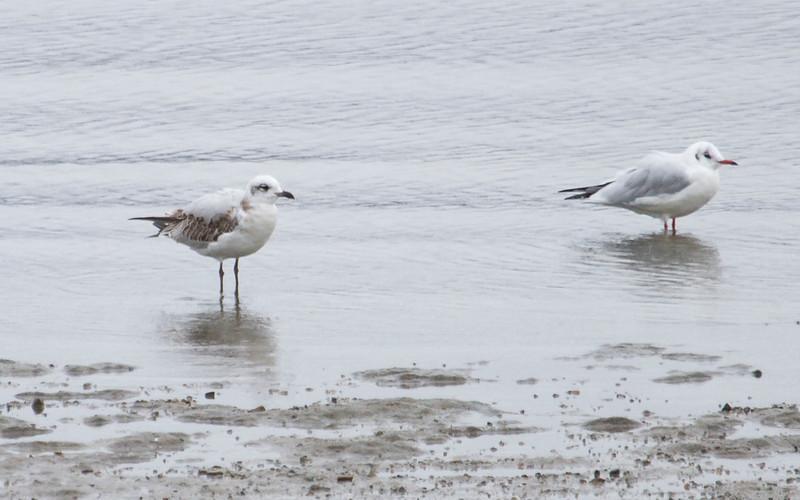 Svartehavsmåke / Mediterranian Gull<br /> Linnesstranda, Lier 22.9.2012<br /> Canon EOS 7D + EF 100-400 mm 4,5-5,6 L