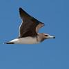 Sotmåke / Sooty Gull<br /> Ras Al Hadd, Oman 25.11.2010<br /> Canon EOS 50D + EF 400 mm 5.6 L