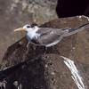 Hinduterne / Swift Tern – <br /> Muscat, Oman 21.11.2010<br /> Canon EOS 50D + EF 400 mm 5.6 L
