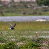 Svartterne / Black Tern <br /> Görans demme, Øland 27.5.2005<br /> Canon EOS 20D + EF 400 mm 5,6 L