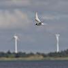 Dvergterne / Little Tern<br /> Hvide Sande, Danmark 27.7.2005<br /> Canon EOS 20D + EF 200 mm 2,8 + Extender 1,4 x