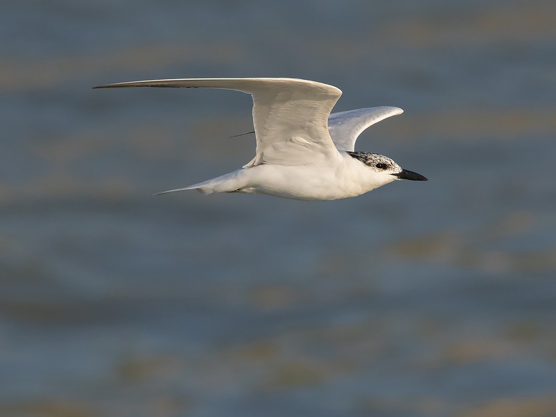 Sandterne / Gull-billed Tern<br /> Barra, Gambia 29.1.2016<br /> Canon 7D Mark II + Tamron 150 - 600 mm 5,0 - 6,3