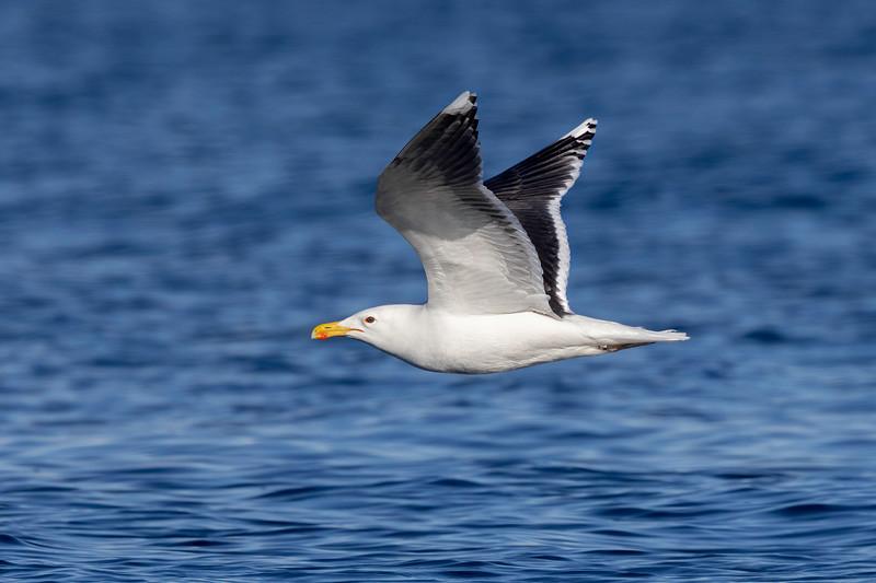 Svartbak / Great Black-backed Gull<br /> Oslofjorden, Viken  30.3.2021<br /> Canon EOS R5 +  EF 500mm f/4L IS II USM + 1.4x Ext