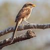 Gulnebbvarsler / Yellow-billed Shrike<br /> Footsteps Lodge, Gambia 24.1.2016<br /> Canon 7D Mark II + Tamron 150 - 600 mm 5,0 - 6,3