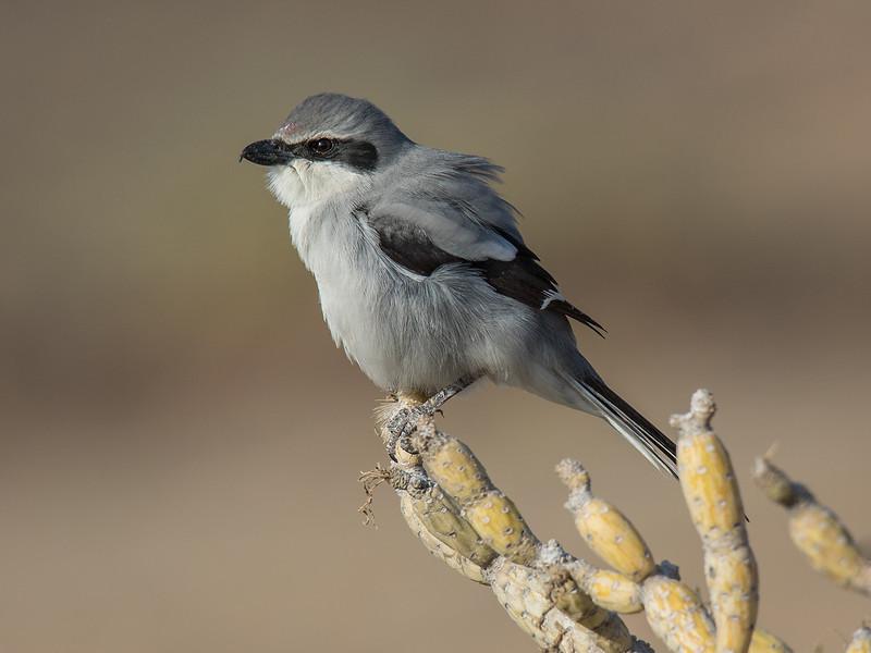 Varsler / Great Grey Shrike<br /> Tenerife, Spania 29.12.2014<br /> Canon EOS 7D Mark II + Tamron 150 - 600 mm 5,0 - 6,3 G2
