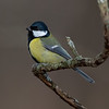 Kjøttmeis / Great Tit<br /> Linnesstranda, Lier 4.11.2018<br /> Canon 5D Mark IV + Canon EF 500mm f/4L IS II USM + 1.4x Ext III