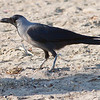 Huskråke / House Crow<br /> Ras Al Sawadi, Oman  22.11.2010<br /> Canon EOS 50D + EF 400 mm 5,6 L
