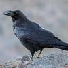 Ravn / Common Raven<br /> La Palma, Spania 28.12.2017<br /> Canon 7D Mark II + Tamron 150 - 600 mm 5,0 - 6,3 G2