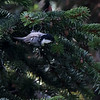 Svartmeis / Coal Tit <br /> Jensvoll, Lier 17.9.2017<br /> Canon 7D Mark II + Tamron 150 - 600 mm 5,0 - 6,3 G2