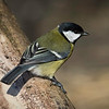 Kjøttmeis / Great Tit<br /> Linnesstranda, Lier 21.3.2015<br /> Canon 7D Mark II + Tamron 150 - 600 mm 5,0 - 6,3 @ 500 mm
