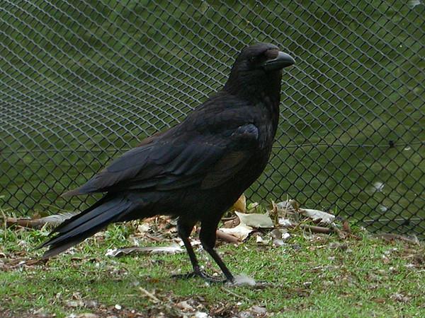 Svartkråke / Carrion Crow <br /> London, England 15.7.2004<br /> Olympus C2500UZ