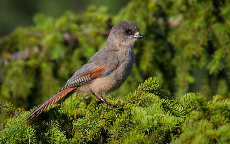 Lavskrike / Siberian Jay<br /> Mortetjernshaugen, Flå 16.7.2012<br /> Canon EOS 5D mark II + EF 100-400 mm 4,5-5,6 L