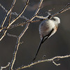 Stjertmeis /Long-tailed Tit<br /> Linnesstranda, Lier 9.2.2013<br /> Canon EOS 7D + EF 100-400 mm 4,5-5,6 L