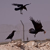 Brunnakkeravn / Brown-necked Raven <br /> Al Beed Farm, Oman 29.11.2010<br /> Canon EOS 50D + EF 400 mm 5.6 L