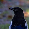 Skjære / Eurasian Magpie<br /> Jensvoll, Lier 25.9.2021<br /> Canon EOS R5 + EF 500mm f/4L IS II USM + 2x Ext
