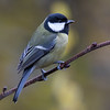 Kjøttmeis / Great Tit<br /> Linnesstranda, Lier 21.3.2015<br /> Canon 7D Mark II + Tamron 150 - 600 mm 5,0 - 6,3 @ 400 mm