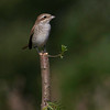Tornskate / Red-backed Shrike<br /> Jensvoll, Lier 10.8.2014<br /> Canon EOS 7D + Tamron 150 - 600 mm 5,0 - 6,3