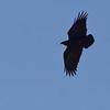 Korthaleravn / Fan-tailed Raven <br /> Al Mughsayl, Oman 02.12.2010<br /> Canon EOS 50D + EF 400 mm 5.6