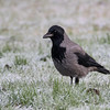 Kråke / Carrion Crow<br /> Elveparken, Drammen 13.12.2014<br /> Canon 7D Mark II + Tamron 150 - 600 mm @ 483 mm