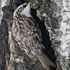 Trekryper / Tree Creeper<br /> Linnesstranda, Lier 16.1.2016<br /> Canon 7D Mark II + Tamron 150 - 600 mm 5,0 - 6,3