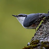 Spettmeis / Eurasian Nuthatch <br /> Jensvoll, Lier 19.9.2021<br /> Canon EOS R5 + EF 500mm f/4L IS II USM + 1.4x Ext