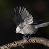 Granmeis / Willow Tit<br /> Linneslia, Lier 2.11.2013<br /> Canon EOS 5D Mark II + EF 100-400 mm 4,5-5,6 L