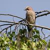 Nøtteskrike / Eurasian Jay<br /> Linnesstranda, Lier 24.8.2014<br /> Canon EOS 7D + Tamron 150 - 600 mm 5,0 - 6,3