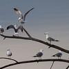 Fiskemåke / Mew Gull<br /> Linnesstranda, Lier 30.4.2010<br /> Canon EOS 50D + EF 400 mm 5.6 L