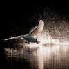 Knoppsvane / Mute Swan<br /> Tyrifjorden, Buskerud 8.10.2006