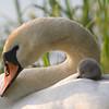 Knoppsvane / Mute Swan <br /> Linnesstranda, Lier 15.6.2005<br /> Canon EOS 20D + EF200 mm 2,8 L + Extender 1,4 x