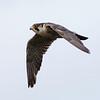 Vandrefalk / Peregrine Falcon <br /> Linnesstranda, Lier 13.8.2011<br /> Canon EOS 50D + EF 400 mm 5.6 L