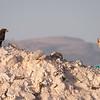 Steppeørn / Steppe Eagle <br /> Salalah, Oman 02.12.2010<br /> Canon EOS 50D + EF 400 mm 5.6 L