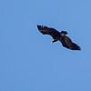 Munkegribb / Black Vulture
