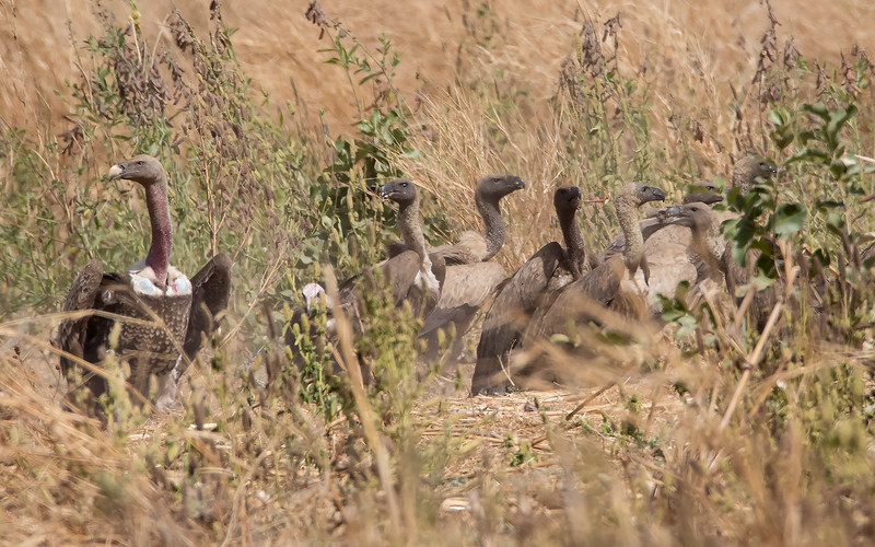 Gribber / Vultures<br /> Jajanbureh - Tendaba, Gambia 3.2.2016<br /> Canon 7D Mark II + Tamron 150 - 600 mm 5,0 - 6,3