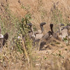 Gribber / Vultures<br /> Jajanbureh - Tendaba, Gambia 3.2.2016<br /> Canon 7D Mark II + Tamron 150 - 600 mm 5,0 - 6,3