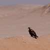 Keiserørn / Imperial Eagle <br /> Al Beed Farm, Oman 29.11.2010<br /> Canon EOS 50D + EF 400 mm 5.6 L