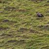 Havørn / White-tailed Eagle<br /> Runde, Møre og Romsdal 20.7.2012<br /> Canon EOS 7D + EF 100-400 mm 4,5-5,6 L