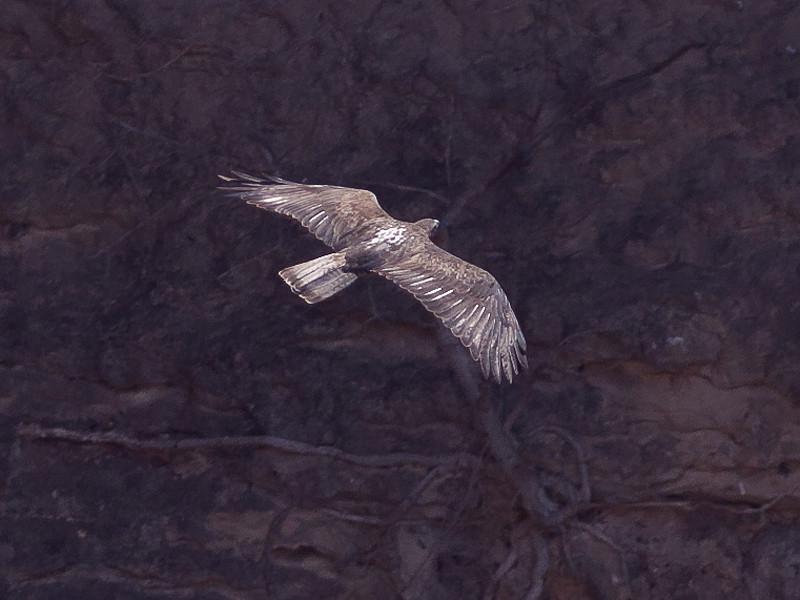 Haukørn / Bonelli's Eagle <br /> Salalah, Oman 02.12.2010<br /> Canon EOS 50D + EF 400 mm 5.6 L