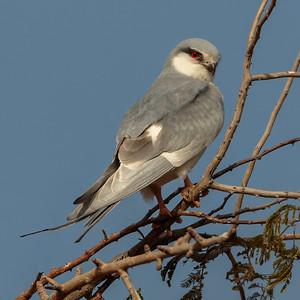 Sakseglente / African Swallow-tailed Kite Kaolack, Senegal 31.1.2016 Canon 7D Mark II + Tamron 150 - 600 mm 5,0 - 6,3