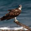 Fiskeørn / Osprey <br /> Qurayyat, Oman 24.11.2010<br /> Canon EOS 50D + EF 400 mm 5.6 L