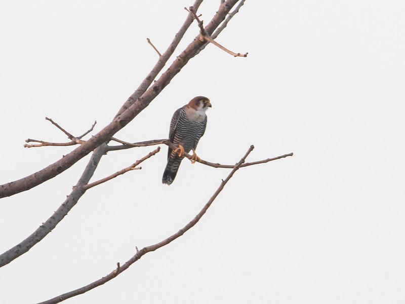 Rødhodefalk / Red-necked Falcon<br /> Kuntaur-Jajanbureh, Gambia 2.2.2016<br /> Canon 7D Mark II + Tamron 150 - 600 mm 5,0 - 6,3