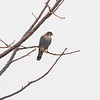 Rødhodefalk / Red-necked Falcon<br /> Kuntaur-Jajanbureh, Gambia 2.2.2016<br /> Canon 7D Mark II + Tamron 150 - 600 mm 5,0 - 6,3