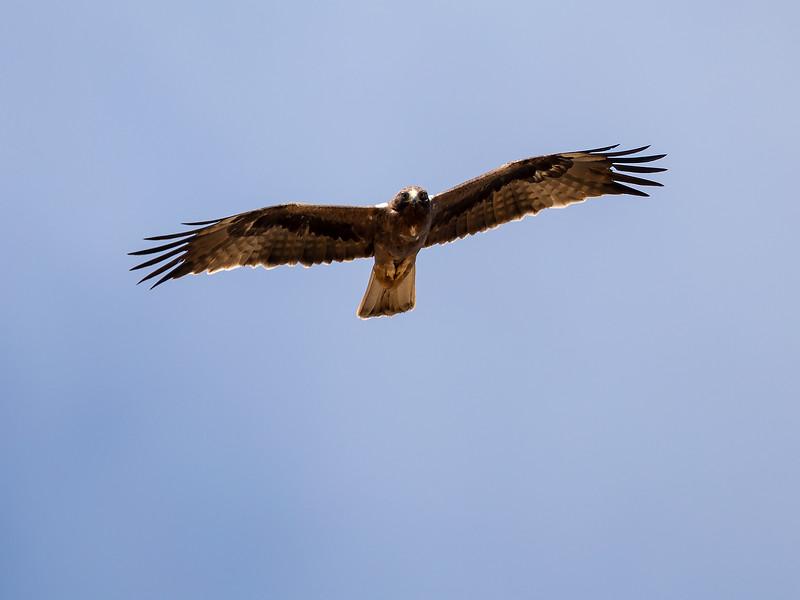 Dvergørn / Booted Eagle