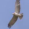 Guineaslangeørn / Beaudoin's Snake Eagle<br /> Tendaba, Gambia 4.2.2016<br /> Canon 7D Mark II + Tamron 150 - 600 mm 5,0 - 6,3